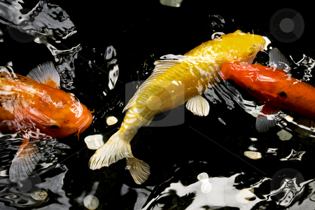 Colorful koi feeding stock photo, Colorful koi feeding at the waters surface by Angus Benham