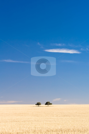 Just the two of us stock photo, A pair of trees sit together on a dry grass hill by Angus Benham