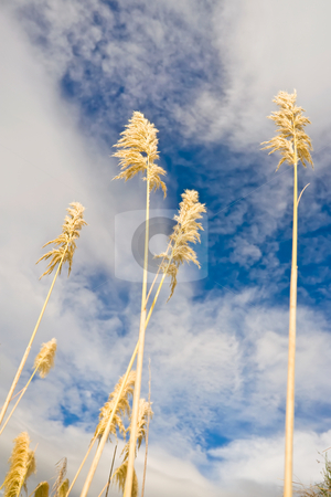 Pampas grass stock photo, Pampas grass or toe toe against cloudy blue skies by Angus Benham