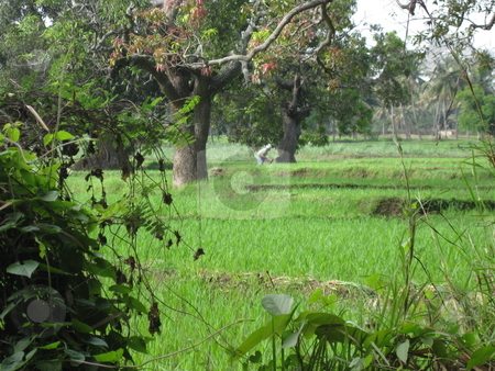 Rice paddy Field, India stock photo, Agriculture, farming, farm, food by Colin Elves