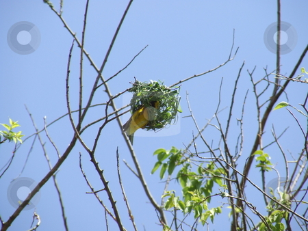 Bob the builder stock photo, Weaver building a nest for his female companion from wild grass by Chris Alleaume