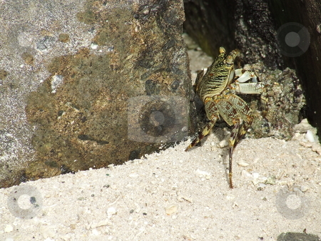 Hide and seek stock photo, Huge Maldivian crab hiding amongst rocks on the beach on a hot day by Chris Alleaume