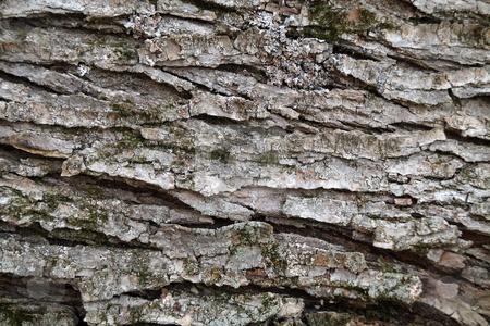 Tree Bark stock photo, Close up of maple tree bark by R Deron