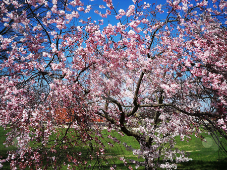 Cherry Pink stock photo, Pink blooming cherry tree in spring,against a clear blue sky by Sandra Fann
