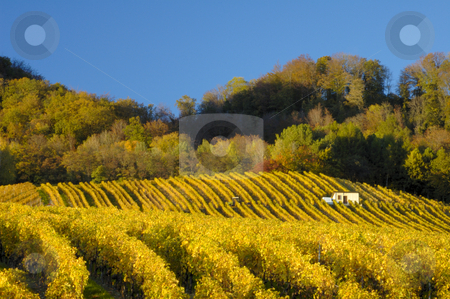 Vineyards in autumn (Horizontal) stock photo, Swiss vineyards of La Cote, after the harvest, under a clear blue sky. A tiny vineyard worker can be seen to the right of the building, with his tractor centre left of the picture. Space for text in the sky. by Alistair Scott