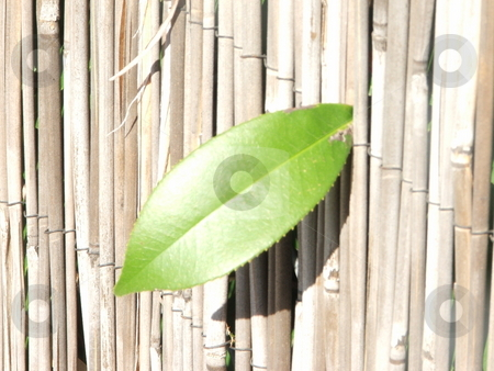 Leaf on a fence stock photo, A picture of a single leaf poking through a fence. by Jesse E