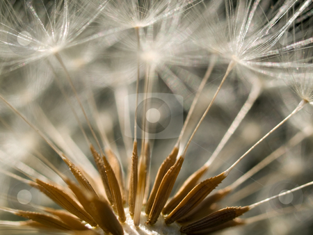 Dandelion clock stock photo, Extreme macro of a dandelion clock with seeds by Laurent Dambies