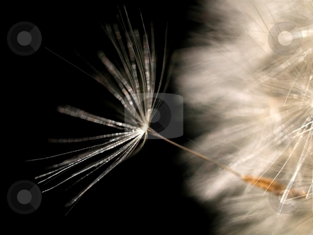Dandelion seed stock photo, Dandelion seed on black background by Laurent Dambies