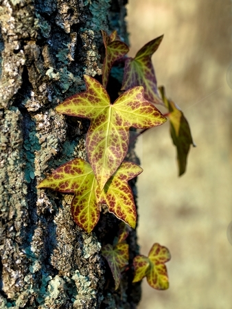 Leaves on tree stock photo, Leaves on tree trunk with shallow depth of field by Laurent Dambies