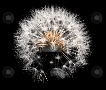 Dandelion on black stock photo, Dandelion isolated on black background by Laurent Dambies