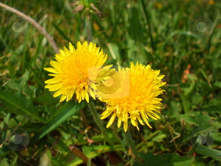 Yellow Dandelion Flowers stock photo,  by Michael Felix