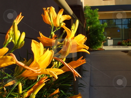 Yellow Daylily Flowers stock photo,  by Michael Felix
