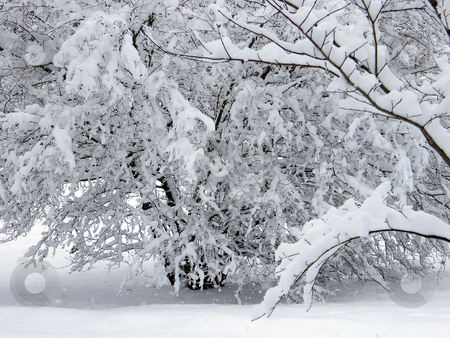 Snow Covered Trees stock photo, Snow Covered Trees in Nortwest Ohio after a blizzard. by Dazz Lee Photography