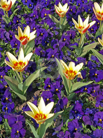 Spring flowers stock photo, Tulips and pansies in a formal flower bed. by Ian Langley