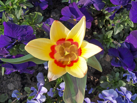 Spring flowers      stock photo, Close-up photo of tulips and pansies in a formal flower bed. by Ian Langley