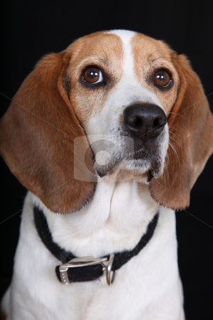 Sitting Tall Dog (Beagle) stock photo, Beagle Sitting Tall and Looking at viewer by Gregg Cerenzio