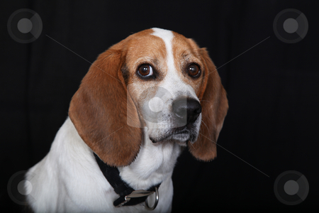 Sitting Dog Beagle stock photo, Beagle Sitting and Looking at viewer by Gregg Cerenzio