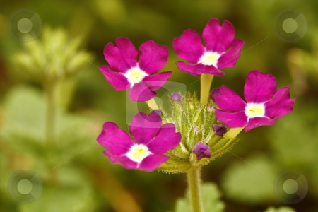 Pruple flowers stock photo, Close up / macro of perfect little purple flowers by Chris Alleaume