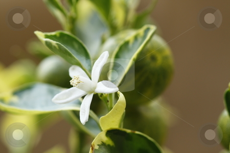 Orange blossom stock photo, Close up / macro of a perfect orange blossom by Chris Alleaume