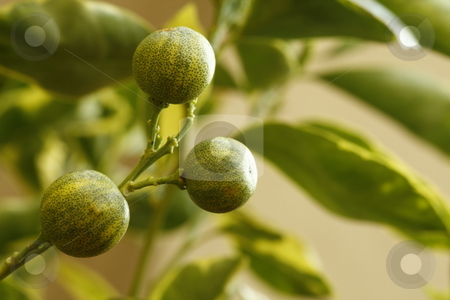 Ornamental oranges stock photo, Macro of ornamental oranges on a branch by Chris Alleaume
