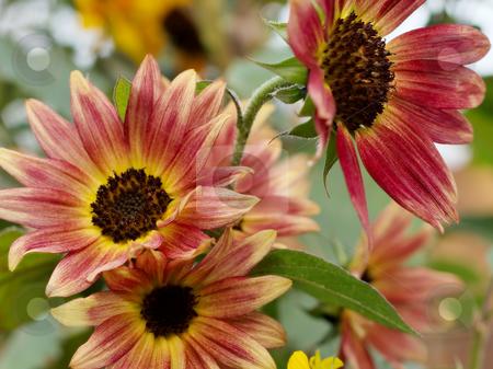 Orange Echinacea Flowers stock photo, Group of three orange echinacea flowers. by Luke Fabish
