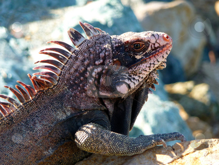 Close-up of colorful island iguana stock photo, Detail and close-up of colorful island iguana sunbathing on the rocks by Jill Reid