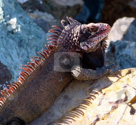 Colorful island iguana stock photo, Colorful island iguana profile on the rocks by Jill Reid