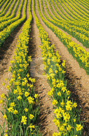 Rows of yellow spring daffodil flowers in an English field. stock photo, Rows of yellow spring daffodil flowers in an English field. by Stephen Rees