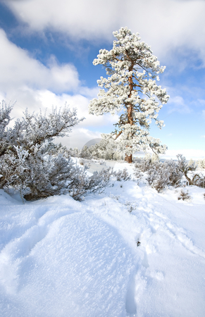 Frozen Pine stock photo, A frost covered pine tree stands along on top of a snowy ridge by Mike Dawson