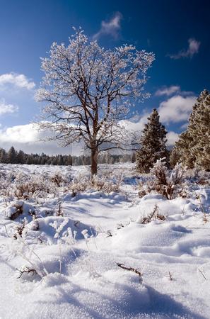 Frozen Oak stock photo, A oak tree atop a Washington Ridge coasted in a heavy frost. by Mike Dawson