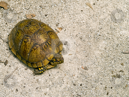 Box Turtle crossing a path stock photo, High angle view of a Box Turtle crossing a rock path. by W. Paul Thomas