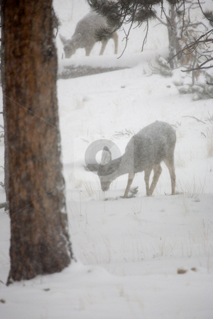 Blizzard Doe stock photo, A doe trying to find something to east in a heavy snow storm in Rocky Mountain National PArk by Mike Dawson