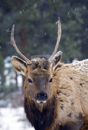 Spike Elk stock photo, A  spike elk in a snow storm in Rocky Mountain National PArk by Mike Dawson