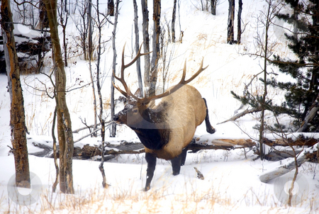 On the Move stock photo, A large bull elk leaping over a log during a winter storm in Colorado by Mike Dawson