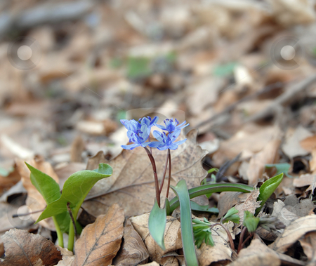Blue spring flowers stock photo, Blue spring flowers over blur green leaves by Julija Sapic