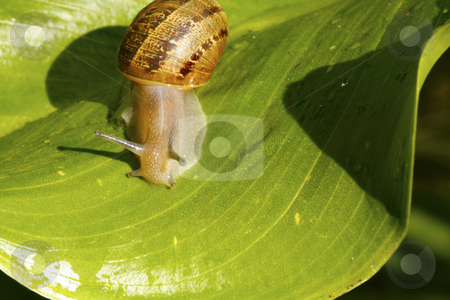 Snail on a leaf 1 stock photo, A snail on a bright garden leaf by Chris Alleaume