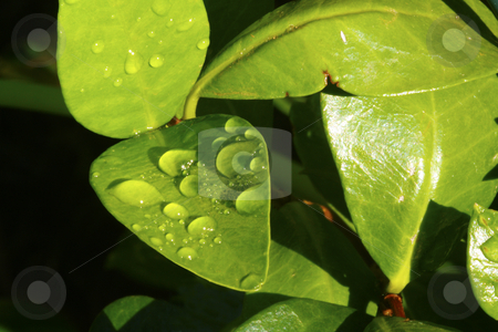 Dew drops on green leaves stock photo, Bright green leaves in a garden showing sparkling dew drops by Chris Alleaume