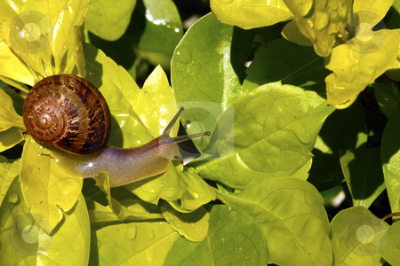 Snail on golden leaves stock photo, Macro shot of a garden snail on bright golden green leaves by Chris Alleaume