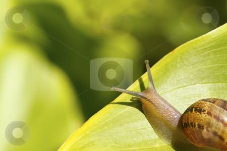 Snail on a leaf 4 stock photo, A snail on a garden leaf, heading towards the edge by Chris Alleaume