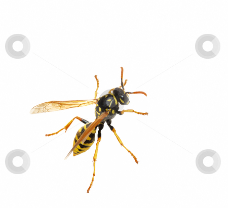 Wasp stock photo, Close-up of a wasp isolated over white background. by Ivan Paunovic
