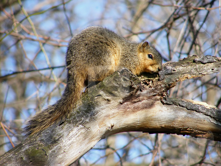North American Squirrel stock photo, North American Squirrel on a tree limb in Winter. by Dazz Lee Photography