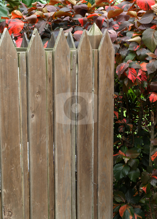 Brown picket fence and red bush stock photo, A weathered brown wooden picket fence and red bush foliage by Jill Reid