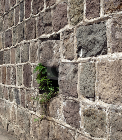 Focus on greenery growing in stone wall stock photo, Green foliage springs to life through stone and rock wall by Jill Reid