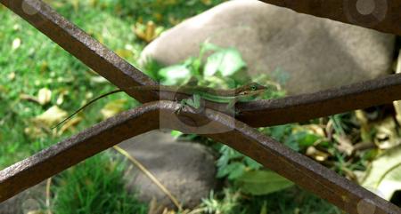 Gecko camouflaged on rusty metal bar stock photo, A colorful gecko camouflages against a rusty metal bar by Jill Reid