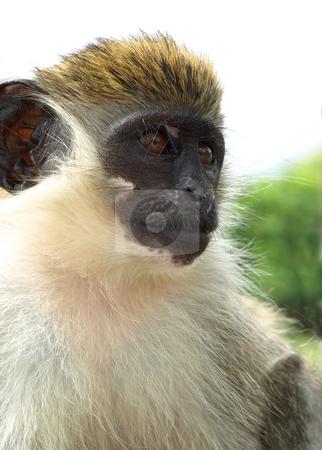 Green vervet monkey in St. Kitts stock photo, Close-up of playful green vervet monkey in St. Kitts by Jill Reid