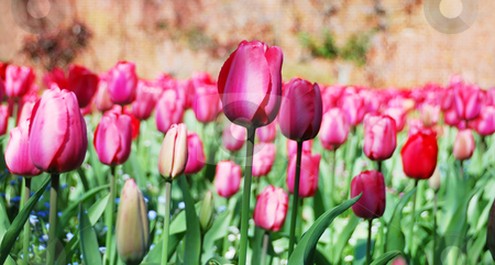 Purple Tulips stock photo, Purple tulips in a garden on a sunny day. by Denis Radovanovic
