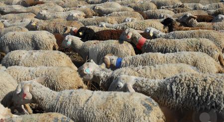 Sheeps stock photo, A herd of sheeps walking in a field by Bonzami Emmanuelle