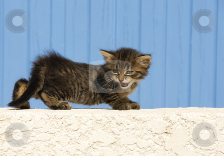 Meowing kitten stock photo, Young kitten meowing in front of a blue background by Bonzami Emmanuelle