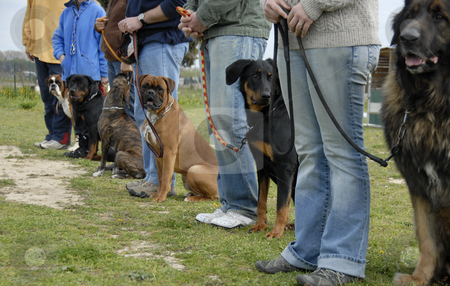 Training with dogs stock photo, Training in a club of canine obedience with purebred dogs by Bonzami Emmanuelle