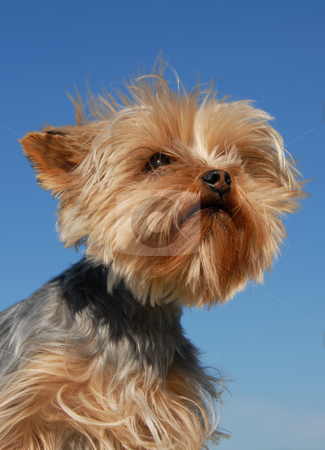 Yorkshire terrier stock photo, Portrait of a purebred yorkshire terrier on a blue sky by Bonzami Emmanuelle